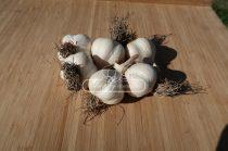MAKÓI 45 +  őszi-tavaszi UT fokhagyma vetőmag - átmérő: 45mm+